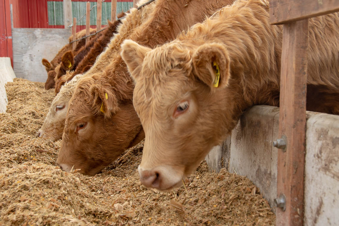 cows eating RiverRun Farms proprietary feed