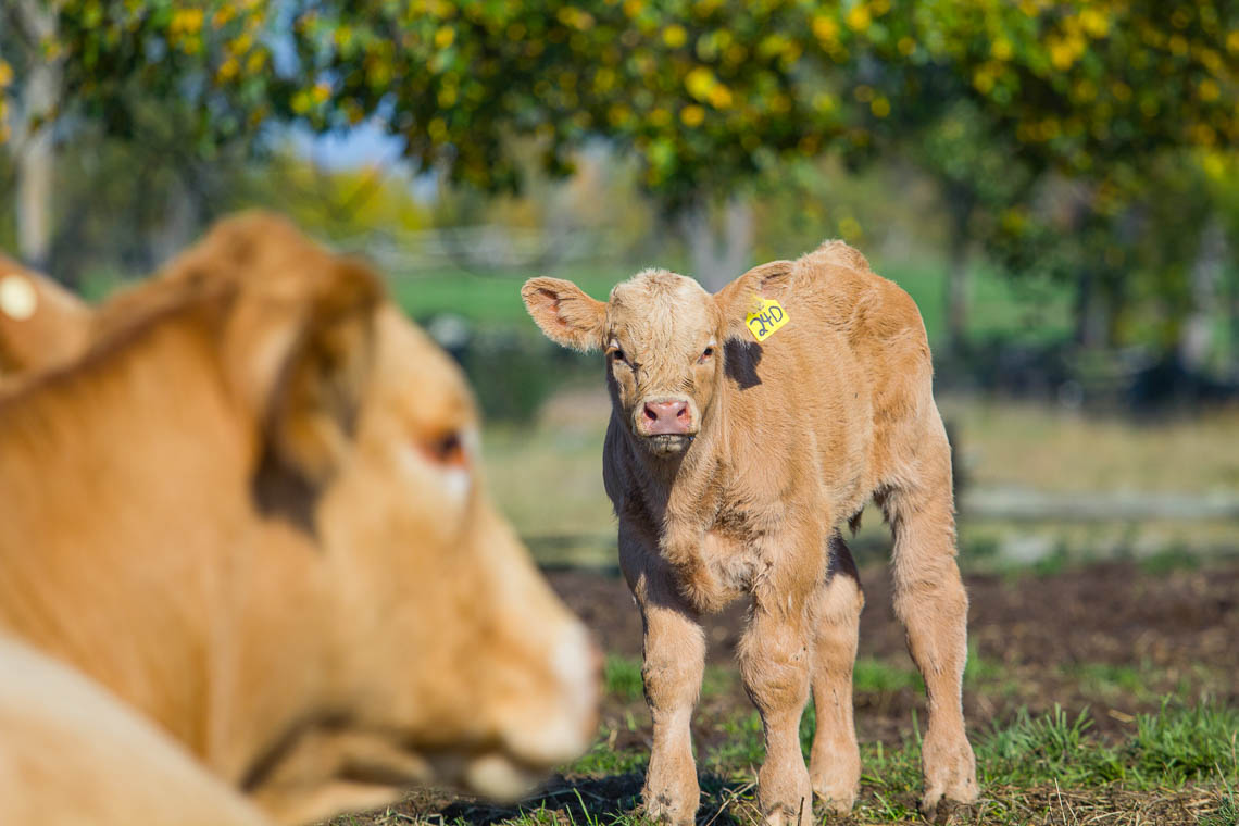 Calf and cows in field